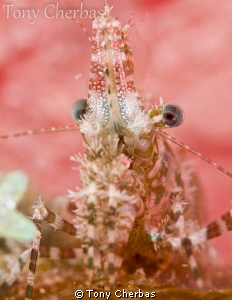 Marbled Shrimp Profile by Tony Cherbas